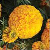 Marigold F1 Bali Orange