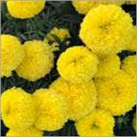 Marigold F1 Eagle Yellow