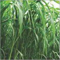 Sorghum Sudan Grass Fast  Grass (White)