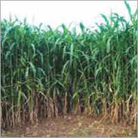 Sorghum Sudan Grass RSS-117 (Red)