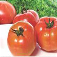 Tomato F1 RS-5144