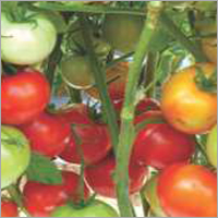 Tomato F1 RSS-6585