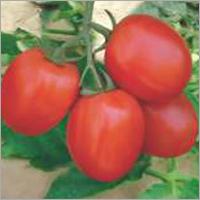 Tomato F1 Rustam