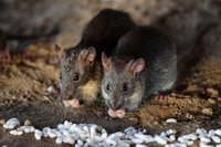 Rodent Control Services