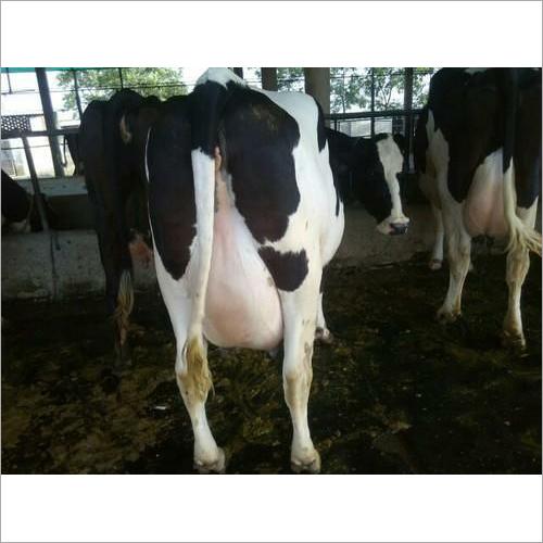 Holstein friesion Cow