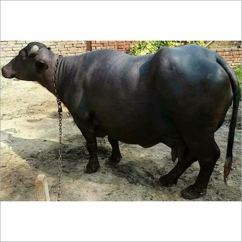 Indian Breed Murrah Buffalo