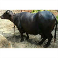 Indian Breed Murrah Buffalo