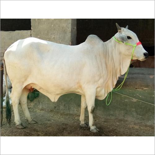 Tharparkar Cow Milk