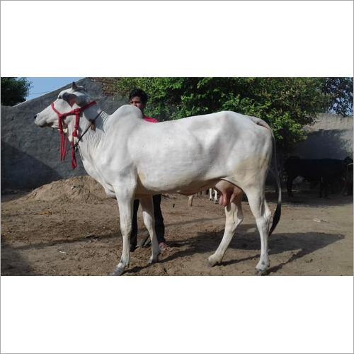 Indian Tharparkar Cow