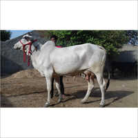 Indian Tharparkar Cow