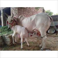 Dairy Tharparkar Cow