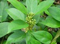gymemna sylvestre extract