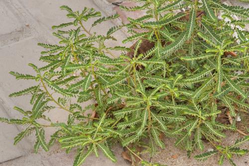 phyllanthus nirurui extract