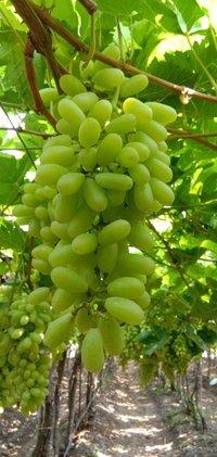 2020 Fresh Crop Sonaka Quality Grapes