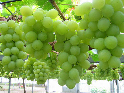 Fresh Sonaka Grapes