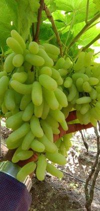 Sonaka Grapes