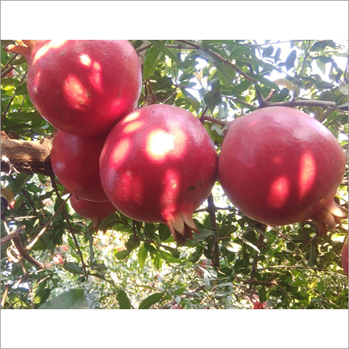 Organic Fresh Pomegranate