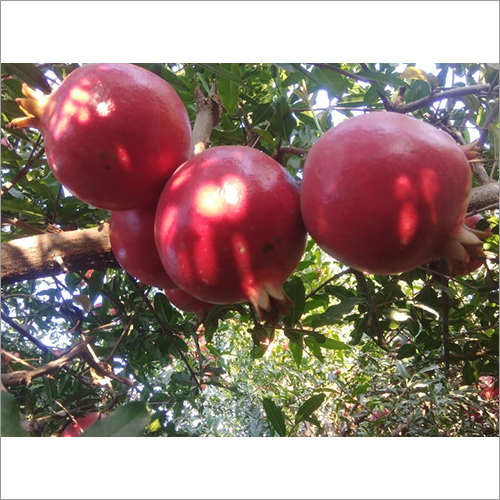 Organic Red Pomegranate