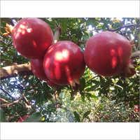 Organic Red Pomegranate