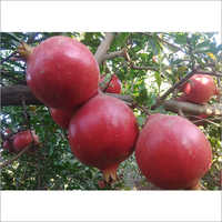 Indian Pomegranate