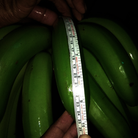Cavendish Banana Fresh Crop