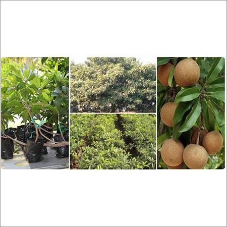 Fruit Plant Nursery