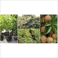 Sapota Plant Nursery