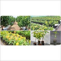 Mango Plant Nursery