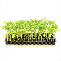 Brinjal Plants Nursery