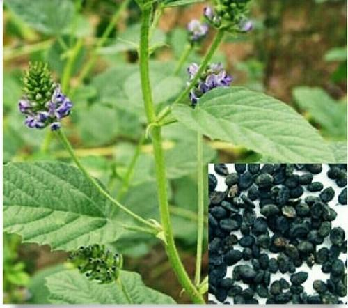 Bavchi Seeds Powder