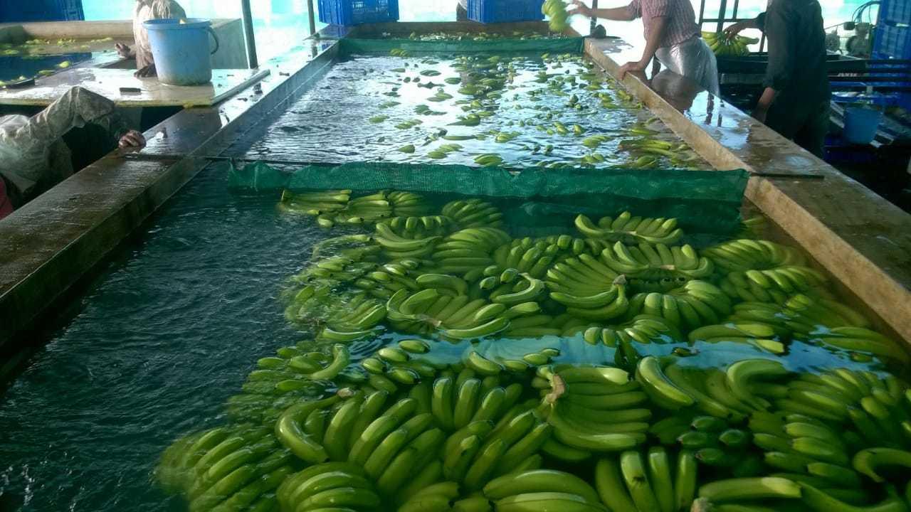 KGCPL Cavendish Banana