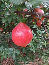 Fresh Crop Pomegranate 2019