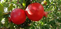Fresh Crop Pomegranate 2020