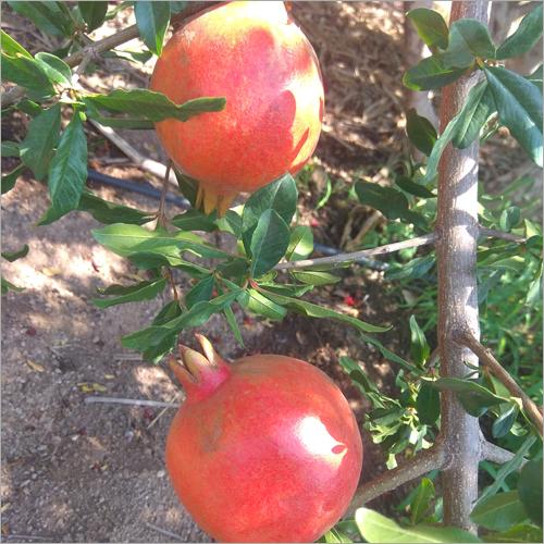 Sirenevyi Pomegranate