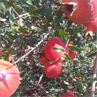 Punica Granatum Pomegranate