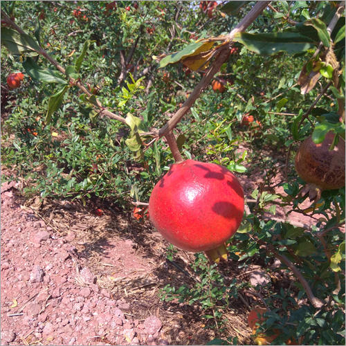 Kashmir Blend Pomegranate
