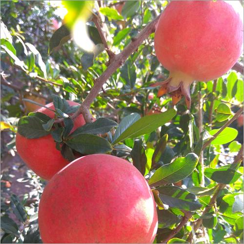 Dholka Pomegranate
