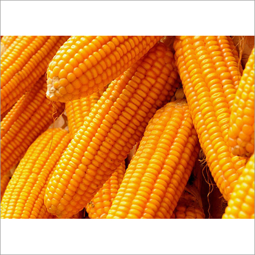 Organic Corn Maize