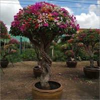 Beautiful Bougainvillea Plant