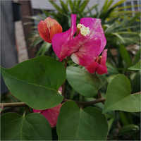 Bougainvillea Garden Flower