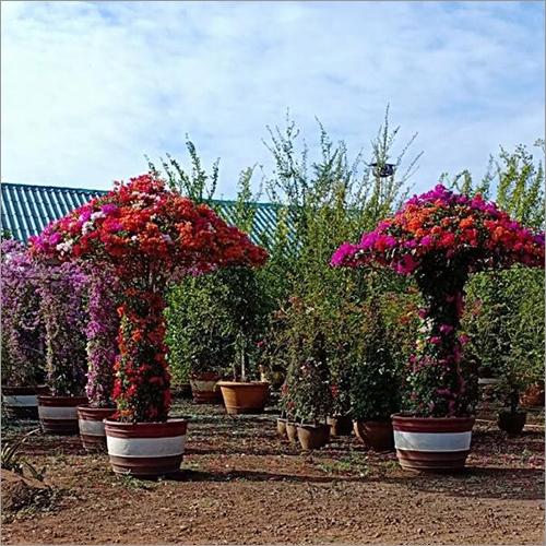 Bougainvillea Garden Plant