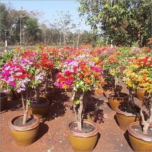 Bougainvillea Multicolor Plant