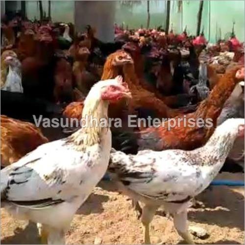 Pure Deshi Chicken