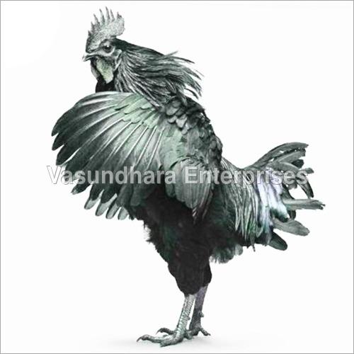 Poultry Kadaknath Hen