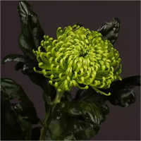 Chrysanthemum Anastasia Flower Plant