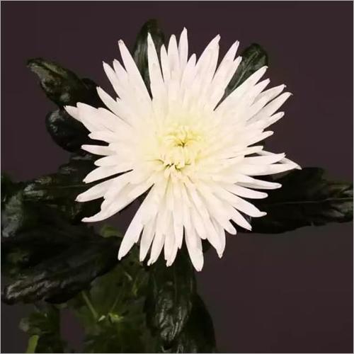 Chrysanthemum Anastasia  Plant