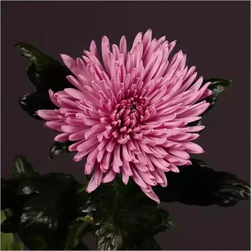 Chrysanthemum Anastasia Lilac  Plant