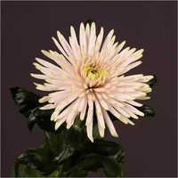 Chrysanthemum Anastasia  Pink Flower Plant