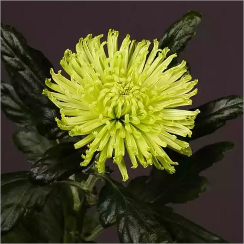 Chrysanthemum Lime Flower Plant