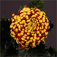 Chrysanthemum Fuego  Flower Plant